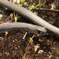 Demansia psammophis (Yellow-faced Whipsnake) at - 26 Sep 2020 by Damian Michael