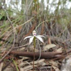 Caladenia ustulata (Brown caps) at Black Mountain - 27 Sep 2020 by Liam.m