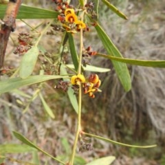Daviesia mimosoides (Bitter Pea) at Black Mountain - 26 Sep 2020 by Liam.m