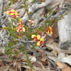 Dillwynia phylicoides (A Parrot-pea) at Black Mountain - 27 Sep 2020 by Liam.m