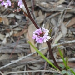 Indigofera australis subsp. australis (Australian Indigo) at Black Mountain - 27 Sep 2020 by Liam.m