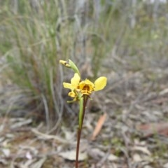Diuris nigromontana (Black mountain leopard orchid) at Black Mountain - 27 Sep 2020 by Liam.m