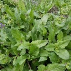 Salvia verbenaca var. verbenaca (Wild Sage) at Namadgi National Park - 26 Sep 2020 by Fiboa