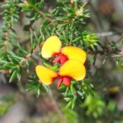 Dillwynia phylicoides (A Parrot-pea) at Dryandra St Woodland - 26 Sep 2020 by ConBoekel