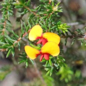 Dillwynia phylicoides at Dryandra St Woodland - 26 Sep 2020
