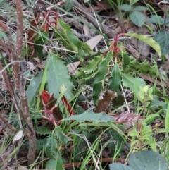 Photinia serrulata at Dryandra St Woodland - 26 Sep 2020