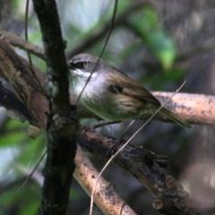 Sericornis frontalis (White-browed Scrubwren) at Wodonga - 27 Sep 2020 by Kyliegw