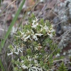 Brachyloma daphnoides (Daphne Heath) at Lake Ginninderra - 27 Sep 2020 by AllanS