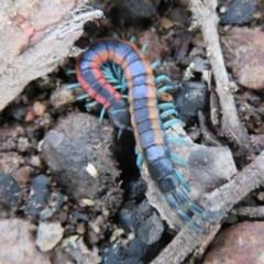 Scolopendra laeta (Giant Centipede) at Piney Ridge - 27 Sep 2020 by Christine