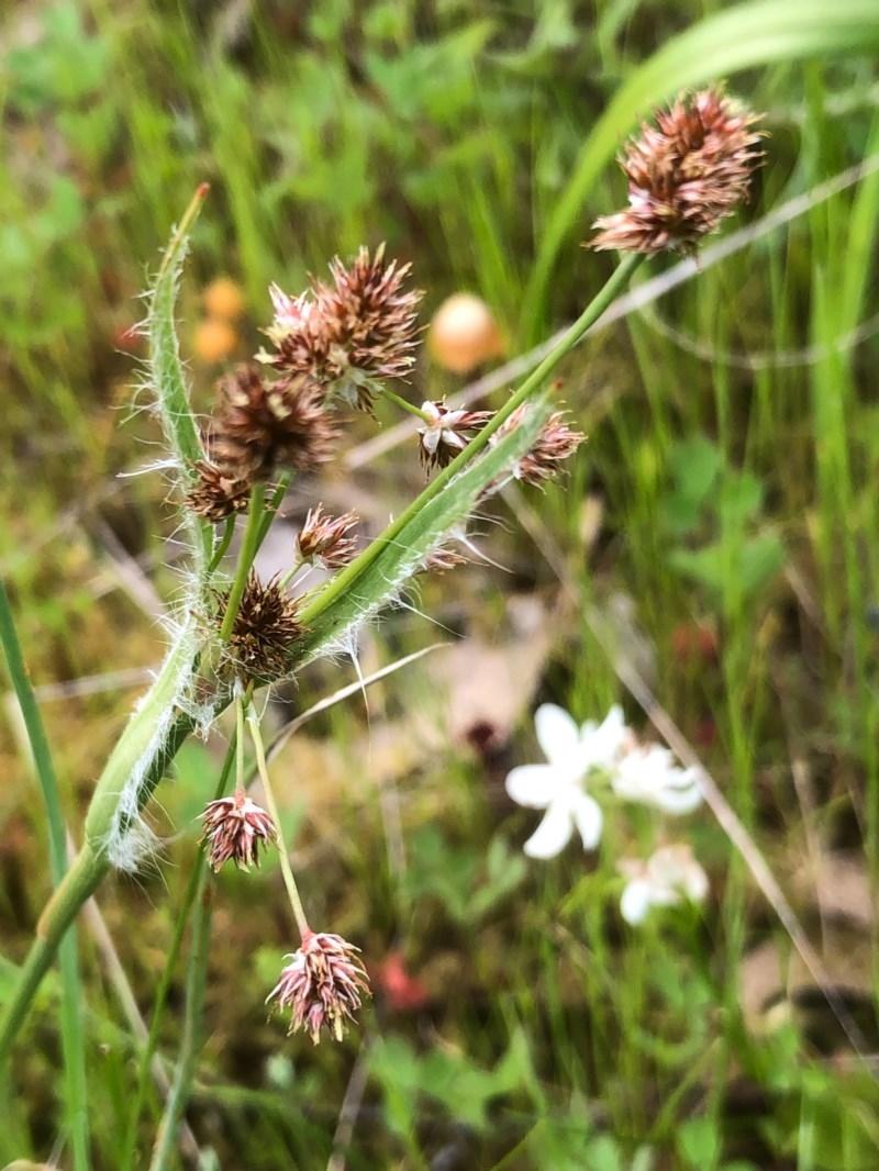Luzula densiflora at Nail Can Hill - 26 Sep 2020