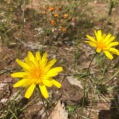Microseris lanceolata (Yam Daisy) at Nail Can Hill - 26 Sep 2020 by Damian Michael