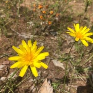 Microseris lanceolata at Nail Can Hill - 26 Sep 2020