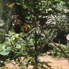 Hemicordulia tau (Tau Emerald) at Berry, NSW - 25 Sep 2020 by Username279