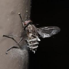 Entomophthora sp. (genus) at Acton, ACT - 27 Sep 2020