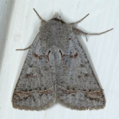 Pantydia sparsa ( A noctuid moth) at Ainslie, ACT - 23 Sep 2020 by jbromilow50