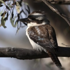 Dacelo novaeguineae (Laughing Kookaburra) at Mount Ainslie - 23 Sep 2020 by jbromilow50
