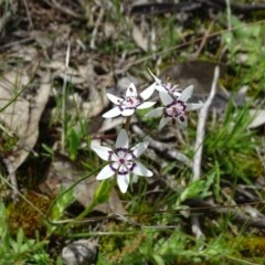Wurmbea dioica subsp. dioica (Early Nancy) at Isaacs Ridge and Nearby - 27 Sep 2020 by Mike