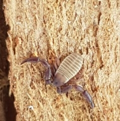 Pseudoscorpiones sp. (order) (TBC) at Oakdale Nature Reserve - 27 Sep 2020 by tpreston