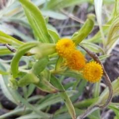 Chrysocephalum apiculatum (Common Everlasting) at Oakdale Nature Reserve - 28 Sep 2020 by tpreston