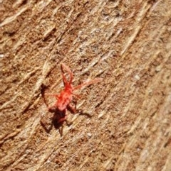 Trombidiidae sp. (family) (Red velvet mite) at Oakdale Nature Reserve - 27 Sep 2020 by tpreston