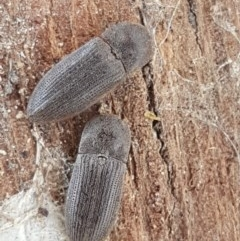 Agrypnus sp. (genus) (Rough click beetle) at Oakdale Nature Reserve - 27 Sep 2020 by tpreston
