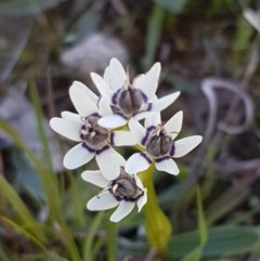Wurmbea dioica subsp. dioica (Early Nancy) at Oakdale Nature Reserve - 27 Sep 2020 by tpreston