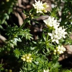 Asperula conferta (Common Woodruff) at Oakdale Nature Reserve - 27 Sep 2020 by tpreston
