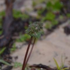 Lamium amplexicaule (Henbit, Dead Nettle) at Wamboin, NSW - 8 Aug 2020 by natureguy
