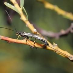 Ichneumonidae sp. (family) (Unidentified ichneumon wasp) at ANBG - 27 Sep 2020 by TimL
