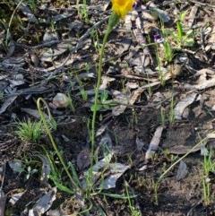 Microseris lanceolata (Yam daisy) at Gossan Hill - 27 Sep 2020 by JVR
