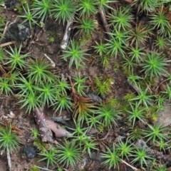 Polytrichaceae at Dryandra St Woodland - 26 Sep 2020 by ConBoekel