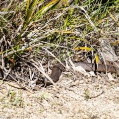 Pseudonaja textilis (Eastern Brown Snake) at ANBG - 28 Sep 2020 by Roger