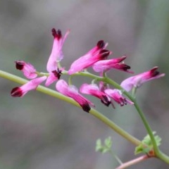 Fumaria sp. (Fumitory) at Dryandra St Woodland - 26 Sep 2020 by ConBoekel
