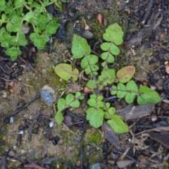 Arctotheca calendula (Capeweed, Cape Dandelion) at Wamboin, NSW - 8 Aug 2020 by natureguy