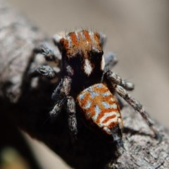 Maratus plumosus (Plumed Peacock Spider) at Cotter Reserve - 28 Sep 2020 by Laserchemisty