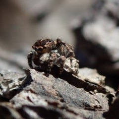 Euophryinae sp.(Undescribed) (subfamily) (TBC) at Coree, ACT - 28 Sep 2020 by Laserchemisty