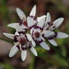 Wurmbea dioica subsp. dioica (Early Nancy) at Kuringa Woodlands - 26 Sep 2020 by Laserchemisty