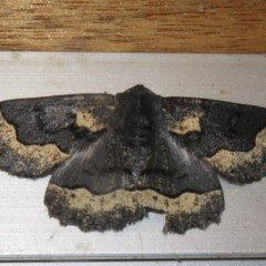 Melanodes anthracitaria (Black Geometrid) at Flynn, ACT - 28 Sep 2020 by Christine