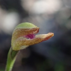 Caladenia sp. at Coree, ACT - 28 Sep 2020 by Laserchemisty