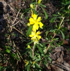Hibbertia linearis (TBC) at Meroo National Park - 28 Sep 2020 by Sybille