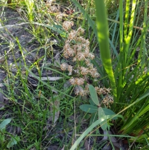 Lomandra multiflora subsp. multiflora at Meroo National Park - 28 Sep 2020
