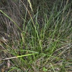 Carex appressa (Tall Sedge) at Jervis Bay Marine Park - 28 Sep 2020 by plants