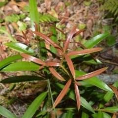 Podocarpus elatus (Plum Pine, Brown Pine) at Jervis Bay Marine Park - 28 Sep 2020 by plants