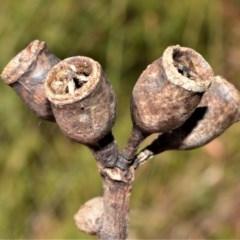 Eucalyptus robusta (Swamp Mahogany) at Currarong - Abrahams Bosom Beach - 28 Sep 2020 by plants