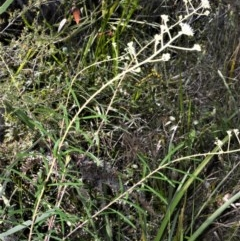 Astrotricha linearis (Narrow-leaved Starhair) at Beecroft Peninsula, NSW - 28 Sep 2020 by plants
