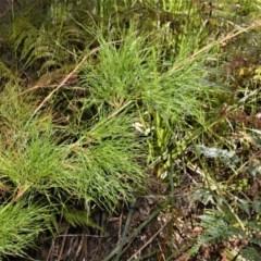 Baloskion tetraphyllum subsp. meiostachyum (Plume Rush, Australian Reed) at Beecroft Peninsula, NSW - 28 Sep 2020 by plants