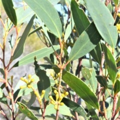 Eucalyptus obstans (Port Jackson Mallee) at Beecroft Peninsula, NSW - 28 Sep 2020 by plants