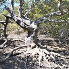 Avicennia marina subsp. australasica (Grey Mangrove) at Jervis Bay Marine Park - 28 Sep 2020 by plants