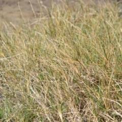 Sporobolus virginicus (Coastal Rat-tail Grass) at Jervis Bay Marine Park - 28 Sep 2020 by plants