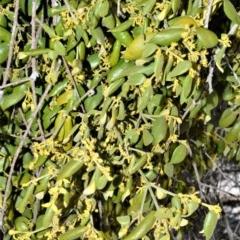 Notothixos subaureus (Golden Mistletoe) at Jervis Bay Marine Park - 28 Sep 2020 by plants